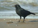 Zwarte Kraai / Carion Crow