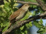 Nachtegaal / Nightingale