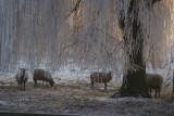 Sheep in Winter Wonderland