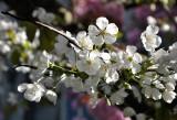 The  Obligatory Blossom Photo