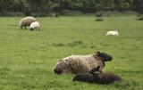 Sheep Siesta