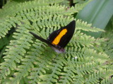 Black and Orange, Seaforde Butterfly Farm