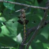 Prince baskettail (Epitheca princeps)