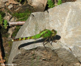 Common pondhawk (Erythemis simplicicollis), female
