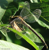 Black-shouldered spinyleg (Dromogomphus spinosus), female