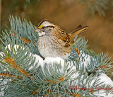 Sparrows of the FWG