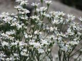 Goldenrod, White (Solidago ptarmicoides)