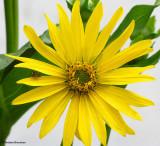 Cup-plant (Silphium perfoliatum)