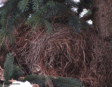 Red squirrel nest in spruce