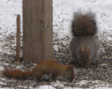 Red squirrel and Grey squirrel feeding on seed beneath the feeder