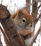 Red squirrel looking pensive