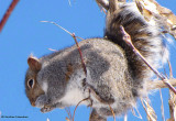 Grey squirrel with manitoba seeds