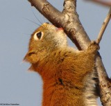 Red Squirrel (Tamiasciurus hudsonicus) at the FWG