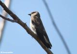 Rough-winged swallo