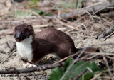 Weasel, probably long-tailed