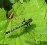 Common pondhawk (Erythemis simplicicollis), male
