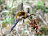 Bee fly (Bombylius sp.)