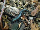 Blue Spotted Salamander (Ambystoma laterale)