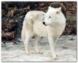 Wolf XI