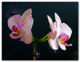 Orchid HDR