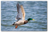 Mallard In Flight II