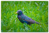 Starling In Grass