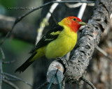 western tanager yard bird