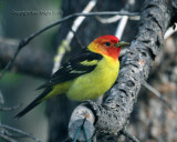 western tanager yard bird