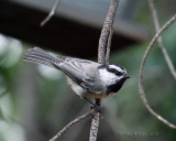 mountain chickadee La Pine, Oregon