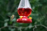 rufous hummingbird La Pine