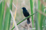 19-DSC_1427-Red-shouldered Blackbird.jpg
