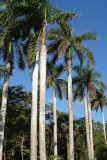 89-DSC00226-Royal palms.jpg