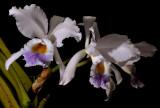 Cattleya gaskelliana var. coerulea