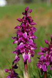 Orchis mascula ssp. mascula