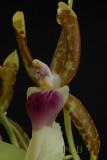 Oncidium  schroederianum