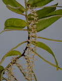 Diaphananthe bidens,  plant about 60 cm
