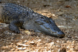 Crocodile, close, Crocodylus siamensis