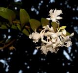 Dendrobium virgineum, pink, flowers 9 cm, 1600 metres, Ueang Nang Chee