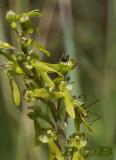 Grote keverorchis, Neottia ovata  syn. Listera ovata