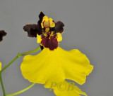 Oncidium insigne, flowers 3 cm across