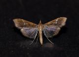 Micro-nachtvlinder