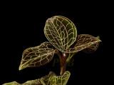 Foliage, anoectochilus roxburgkii