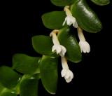 Angraecum bancoenses,flowers 8 mm