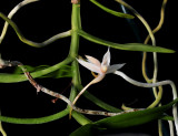 Angraecum erectum, flower 3 cm across