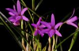 Isabelia rosea
