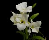 Dendrobium schuetzei