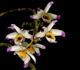 Dendrobium wardianum, Ueang Mani Trai Rong