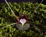 Corybas geminigibbus, flower 1 cm
