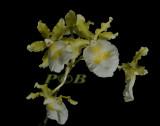 Oncidium fuscatum alba