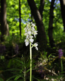 Orchis  mascula witte vorm